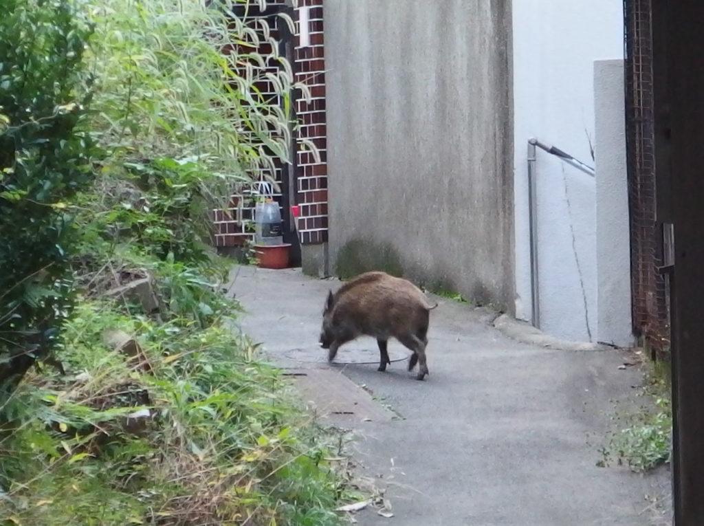 boar05