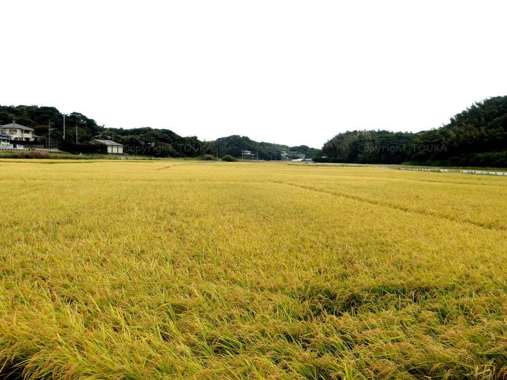ricefield03