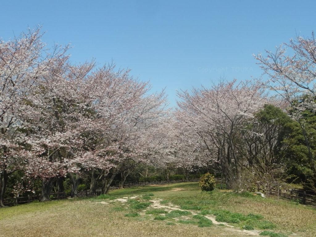 sakurahikoshima04