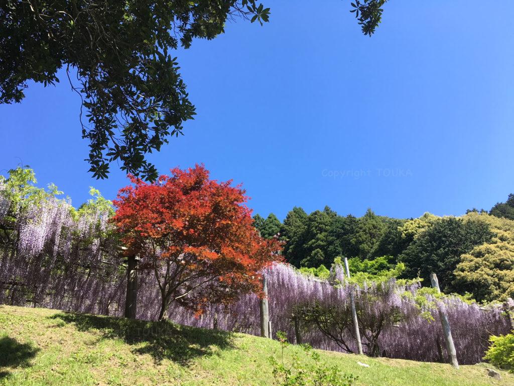 kawachifuji2019-03