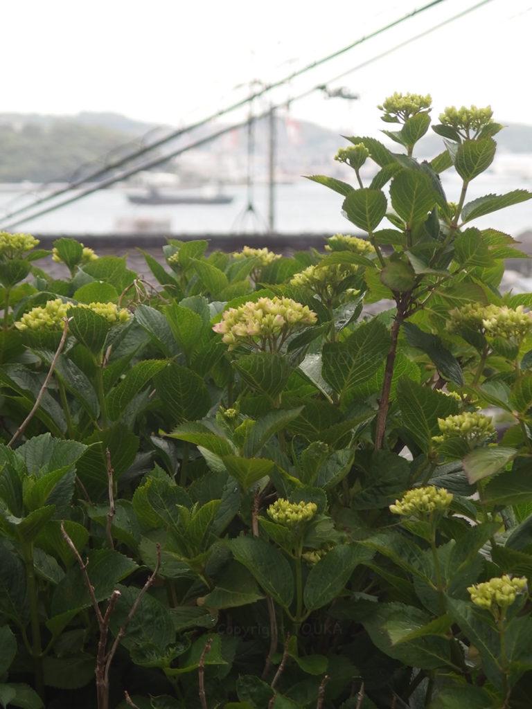 suguflower01