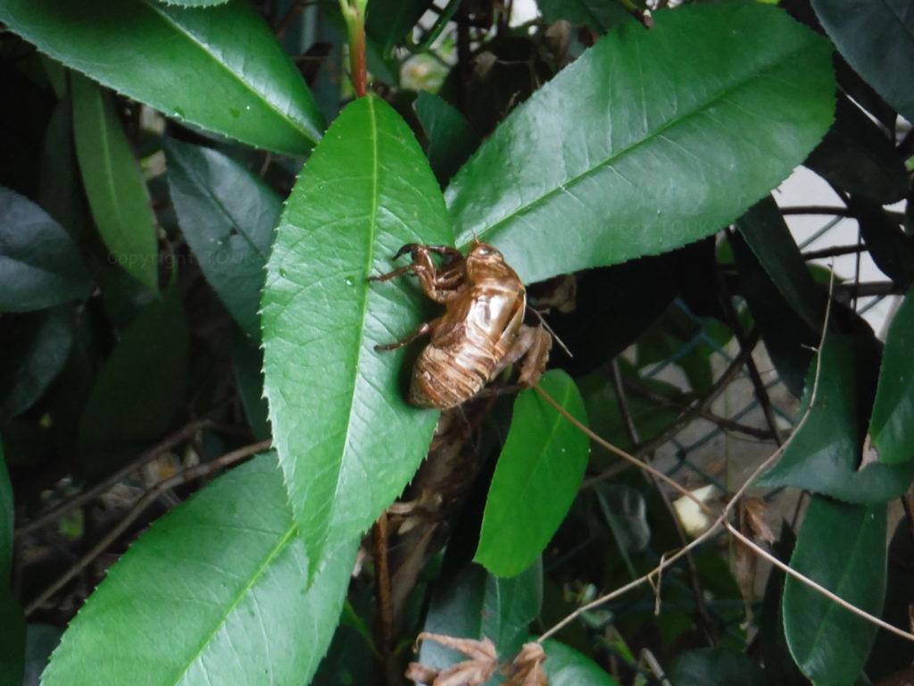 cicadashell01