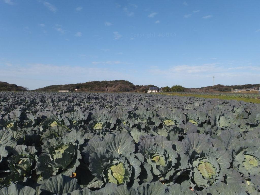 seabreezecabbage01