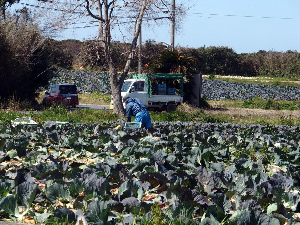 seabreezecabbage02